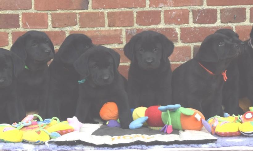 ils sont nés le 24.11.2016 6 mâles et 1 femelle tous noir  » tous est réservé «